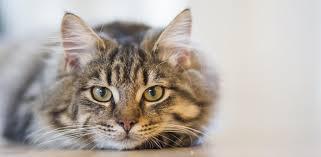 Kočka Chovatelská Příručka
