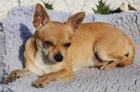 Teacup Chihuahua Size Chart Teacup Chihuahua 8 Facts About These Small Adorable Mini