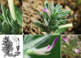 Ajuga iva (L.) Schreb. subsp. iva - Portale sulla flora del Parco ...