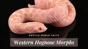 Designer Morphs Western Hognose Snakes 10 Stunning Western Hognose Snake Morphs Reptileworldfacts