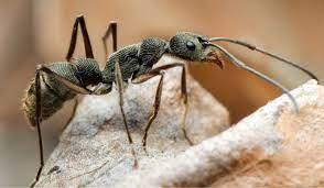 กำเนิดนางพญามด - antkeepingthailand