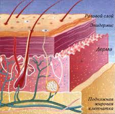СТРОЕНИЕ И СВОЙСТВА КОЖИ ЧЕЛОВЕКА как часто обновляются клетки  четыре слоя кожи роговой слой эпидермис дерма гиподерма подкожная жировая клетчатка