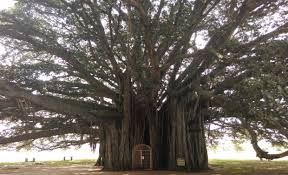 Image result for very big banyan trees