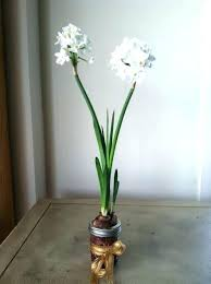 Paper White Flower Bulb Paper White Bulbs For Sale Vizagholidays Co
