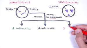 Streptococcus Identification Chart Microbiology Streptococcus Species