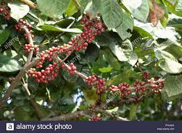 The Jamun Syzygium Cumini Is An Evergreen Tropical Tree Native Kerala Fruit Trees