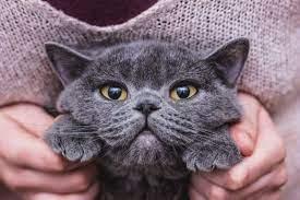 dạy mèo Anh lông ngắn