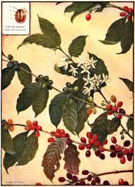 .coffee tree flowers coffee plant cartoon coffee tree logo owl tree cartoon coffee tree illustration cute cartoon coconut coffee plant graphic green bean tree coffee tree painting red beans cartoon coffee plant vector funny cartoon coffee cup coffee cup cartoon character. The Project Gutenberg Ebook Of All About Coffee By William H Ukers
