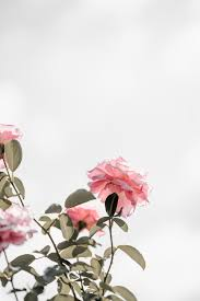 100+ Pink Rose Pictures [HD]
