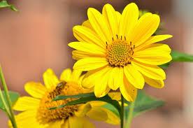 Pixabayの無料画像 向日葵 黄色 ヒマワリ 庭 塞ぎます 夏の終わり