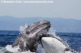killer whales attacking blue whale. Killer Whales Attacking Blue Whale Throughout