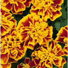 Orange Annuals Garden Plants Flowers The Home Depot