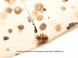 photo of a baby bed bug and spots