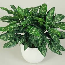 best low light houseplants sunset plants outdoor australia chinese evergreen getty sun 0116 xl full size