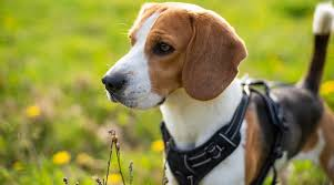Voyager Harness Size Chart Best Harnesses For Beagles Ratings Reviews Our 7 Favorites