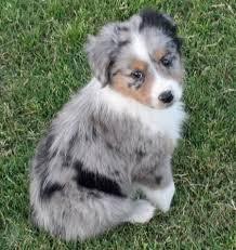 baby australian shepherd. Unique Shepherd Australian Shepherd Puppy If He Was Mine His Name Would Be Sergio For Baby
