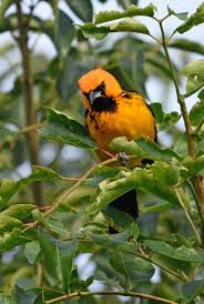 Image result for spotted breasted oriole