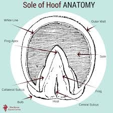 Sole Of Hoof Anatomy Mid Rivers Equine Centre