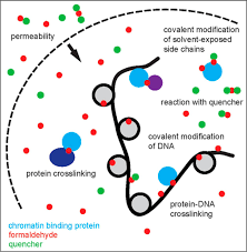Rna to dna to polysaccharides. Formaldehyde Crosslinking A Tool For The Study Of Chromatin Complexes Journal Of Biological Chemistry