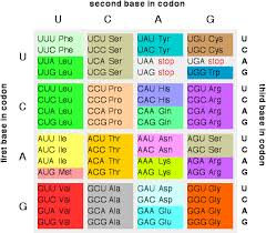 What Is An Mrna Codon Example