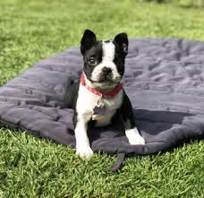 Puppy Growth Chart Freya Boston Terrier Female