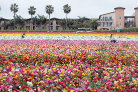 flower fields california ranunculus workers