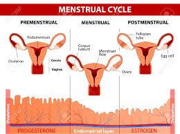 Menstrual Cycle Phases Chart Menstrual Cycle Menstruation Follicle Phase Ovulation And