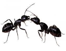 Resultado de imagen de Animales que se relacionan intercambiando feromonas