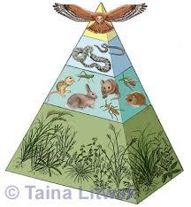 animal food pyramid. Beautiful Food Grasslands Ecosystem Food Pyramid Inside Animal S