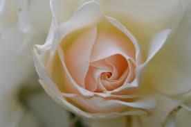 rose flowers free stock photos