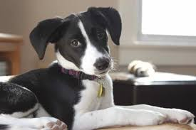 jack russell terrier border collie mix. Exellent Terrier Ollie A Jack Russell TerrierBorder Collie Puppy Intended Terrier Border Mix