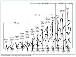 Winter Wheat Growth Stages Chart Winter Wheat Management Calendar Texas A M Agrilife Extension
