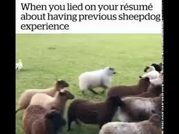 When You Lied On Your Resume About Having Previous Sheepdog