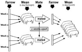 farrowing chart batch farrowing department of agriculture and fisheries