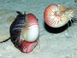 File:Deepest record of Nautilus