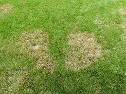 Brown Patch Disease Lawn Pest Disease Alert Brown Patch Sod Webworm Natures