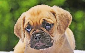 puggle puppies wallpaper. Unique Wallpaper Download Wallpapers Puggle 4k Puppy Dogs Muzzle Cute Animals Pets On Puggle Puppies Wallpaper 0