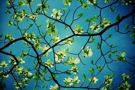 dogwood tree desktop hd flower wallpapers dogwood tree desktop 1024x682