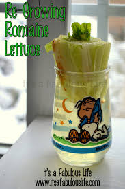 Kitchen Scrap Gardening Re Planting Your Kitchen Scraps How To Re Grow Romaine Lettuce