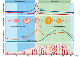 Menstrual Cycle Bioninja