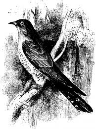 cuckoo definition etymology and usage examples and related words definitions the cuckoo