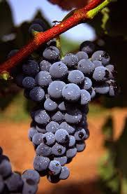 Resultado de imagen para uvas viña
