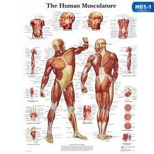 Anatomical Chart Posters Human Body Muscle Anatomy System Poster Anatomical Chart