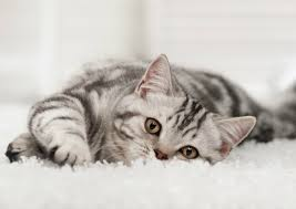 cat on the rug try these tips
