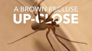 A Brown Recluse Close Up Youtube