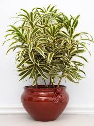 indoor plants songofindia