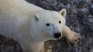Polar bear with collar and tag USGS labeled polarbearscience