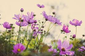the color purple cosmos