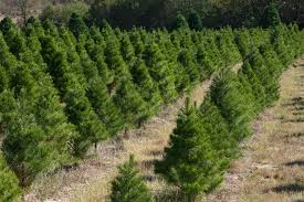 For Those That Have Christmas Trees  When Do You Take Them DownWhat Day Do You Take Your Christmas Tree Down On