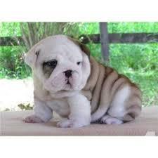 english bulldog puppies 321 332 0453
